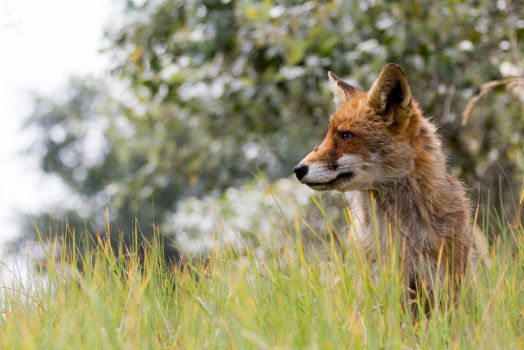 Fox With a Visitor by AngelaLouwe