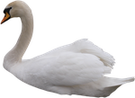 Swan PNG by IvaxXx