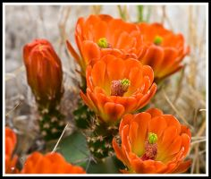 Cactus Flower by justfrog