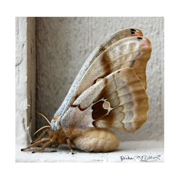 The Female Polyphemus Moth by richardcgreen