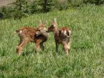 Mule Deer Fawn IV by Track-Maidens