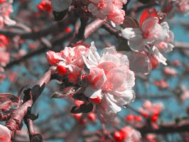 Apple Blossom Red by shadowyxgold