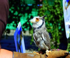 Northern White-Faced Scops Owl by phraxdust