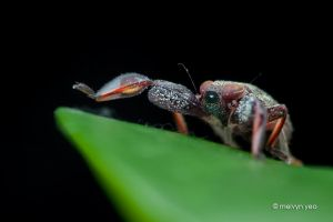 Spider Mimicking hopper nymph by melvynyeo